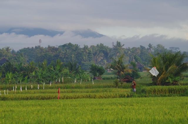 reggeli rizsföld