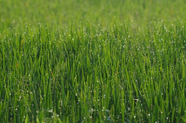 rizsgyöngyök