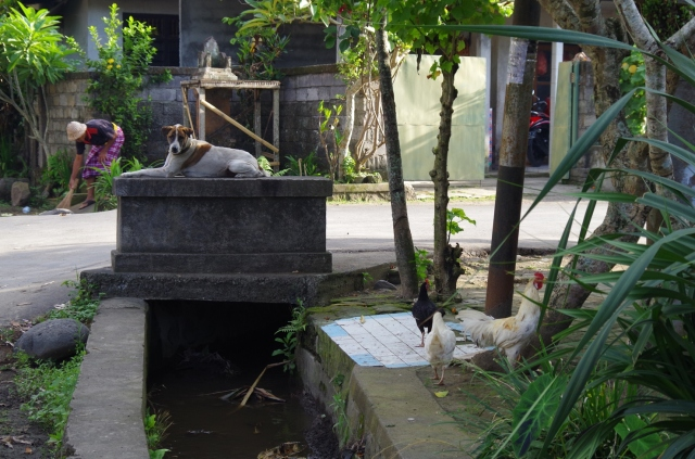 Bali dog, chickens and sweeping man