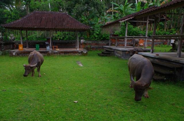 bulls in temple