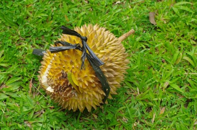 durián 2