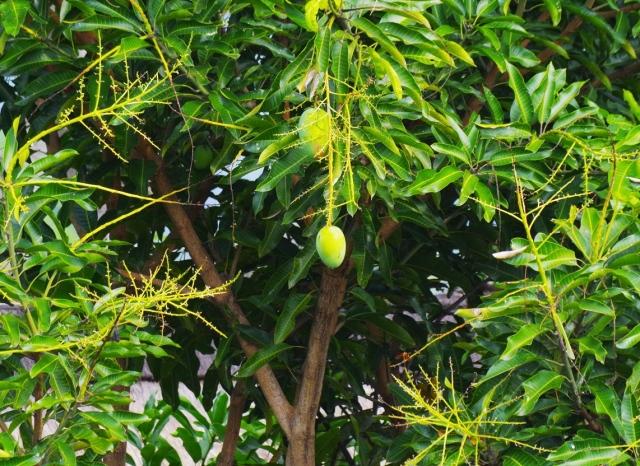 mangófa