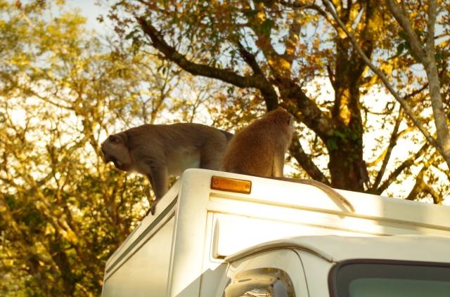 majom a kocsin