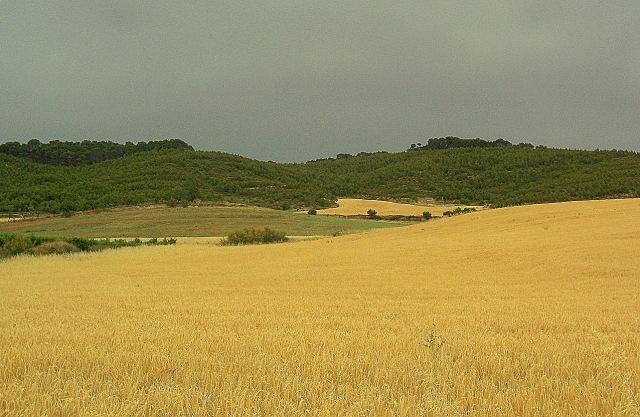 búzaföld