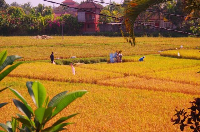 rizsszüret