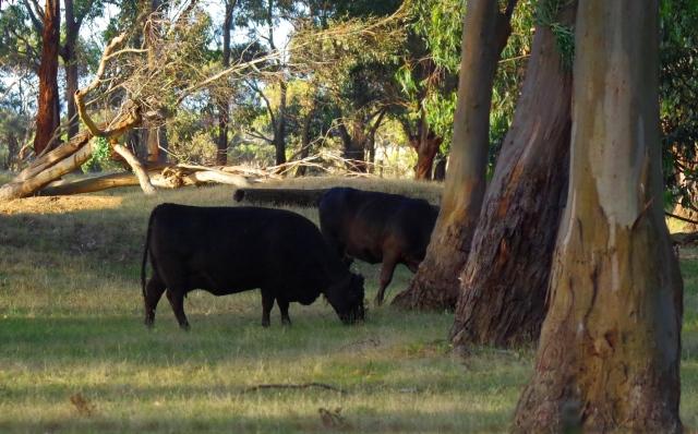 fekete tehenek