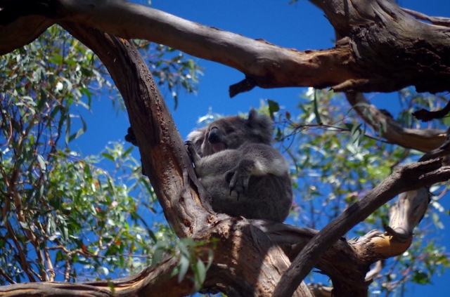 koala lenéz