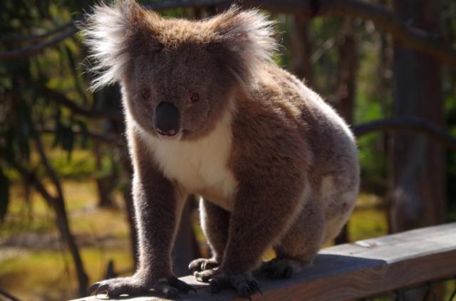 koalamaci
