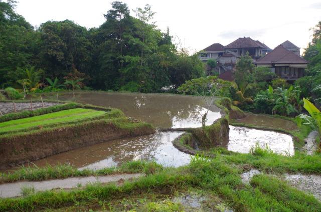 rizsföldművészet