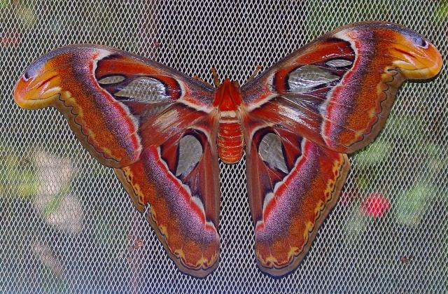 barong-pillango